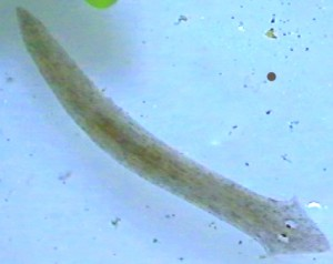 planaria worm